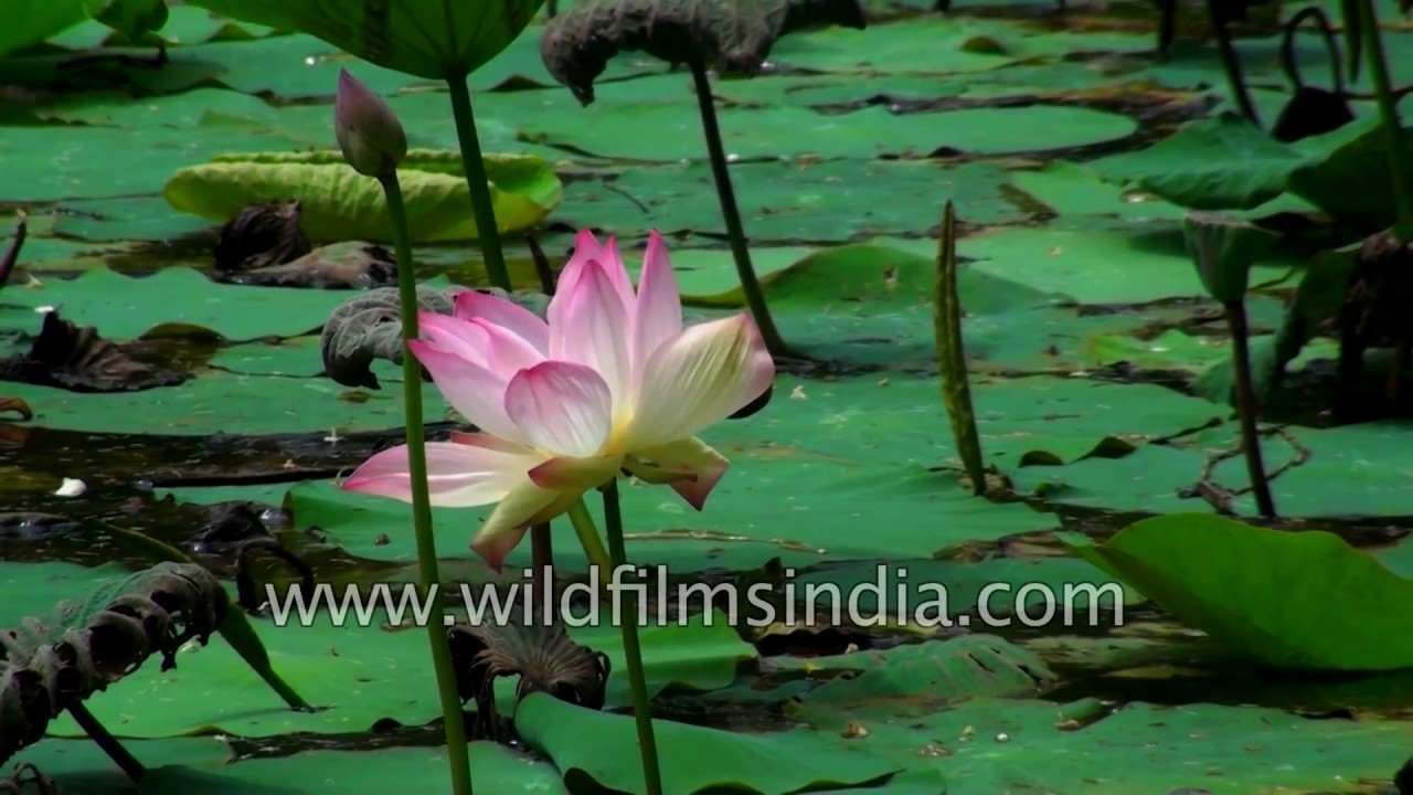 Lotus Indias National Flower Youtube