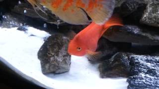 My parrot cichlid laying eggs