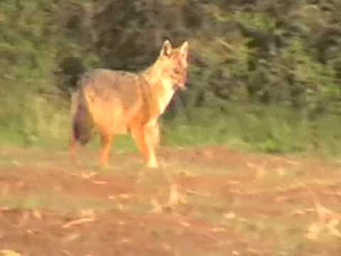 Calling golden jackal with Nordik predator Pre-Tuned