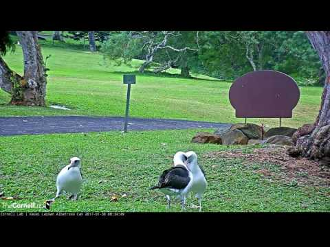 Trio of Laysan Albatross Stroll Off Camera – Jan. 30, 2017