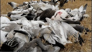 Hired to Hunt Season 4 #10: Blow Me Over!  Goose Hunting and Duck Hunting.  Limit Hunts in Alberta
