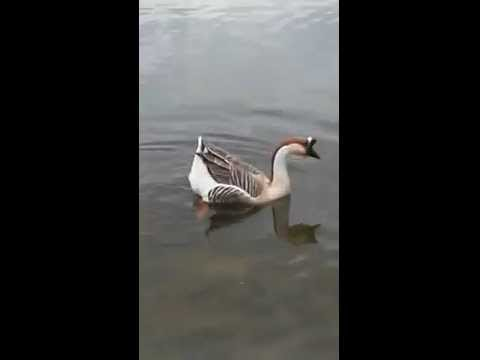 Blonde chick thinks this goose is an ostrich!