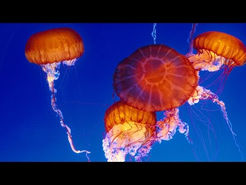 Live Jelly Cam - Monterey Bay Aquarium