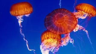 Live Jelly Cam - Monterey Bay Aquarium