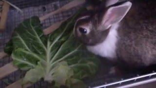 ミニウサギのベルちゃんに大好きなキャベツのおやつをあげました。