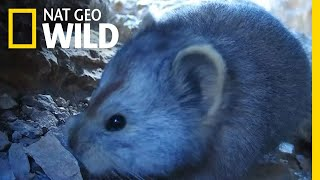See Extremely Rare Video of Teddy Bear-Like Mammal | Nat Geo Wild