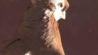 На выставку породистых голубей в Благовещенске слетятся 600 ...