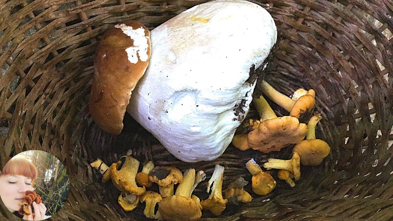 Волшебные грибы летом: Лисички, Белые грибы, Мухомор серо-розовый и Гриб Веселка. Июнь 2020