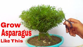 पौधे की छंटाई से बनाये खूबसूरत पौधा /How to Prune & Care Asparagus Fern -10 Aug 2017/Mammal Bonsai