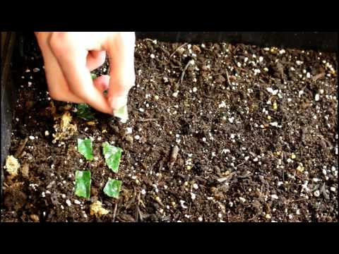 How to propagate begonias from leaf cuttings and seed