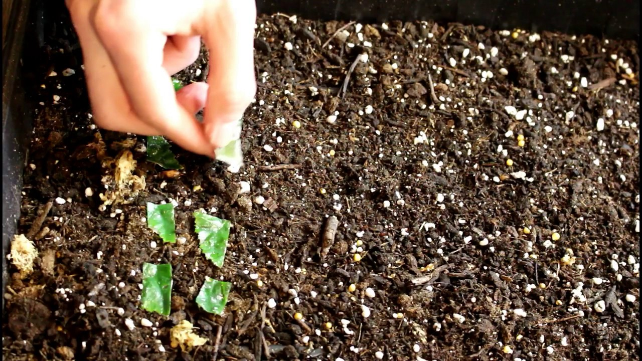 begonia semperflorens propagation