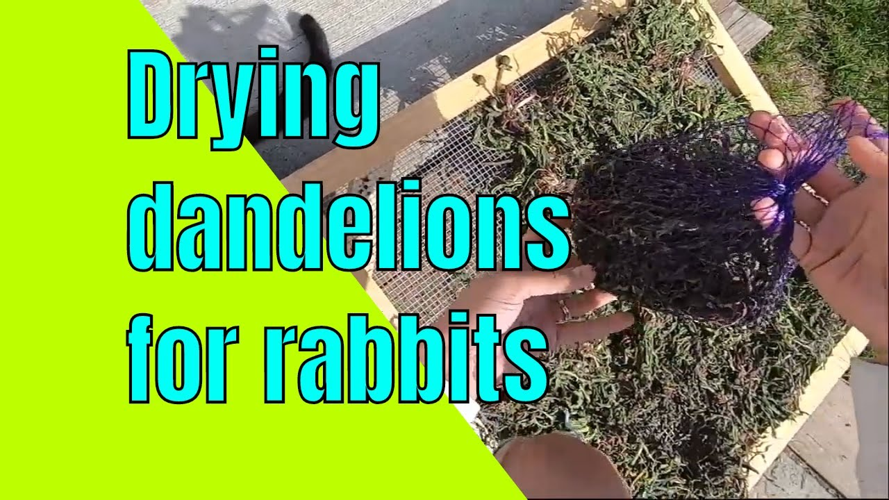 How to dry dandelion plants to feed to rabbits in winter