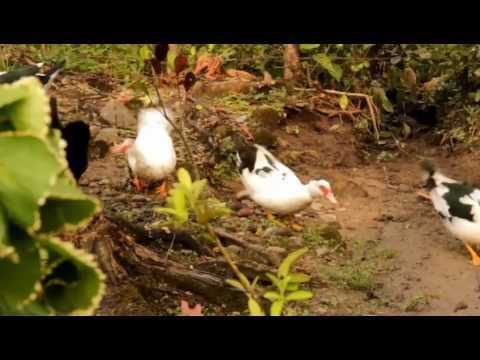 Amusing display in domestic ducks