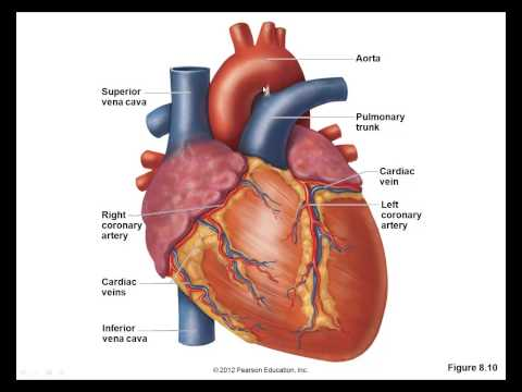 Human Biology (undergraduate intro level to non-majors), Cardiovascular system