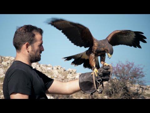 Dunia harris hawk volando en la Sierra de la Martina