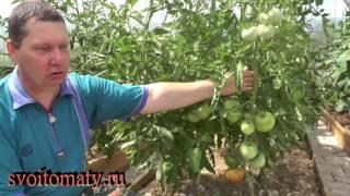 Причины плохого завязывания плодов томатов