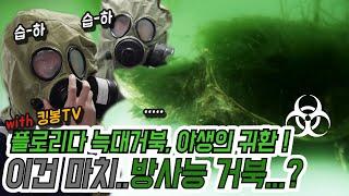 (늑대거북편)방사능유출? 그곳은 녹조현상과 해캄 뿐..…