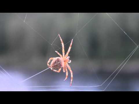 Паук плетёт паутину / Spider spins a web