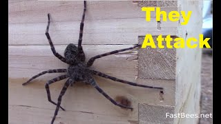 Honey bees attacked the fishing spider. Original HD video. thumbnail