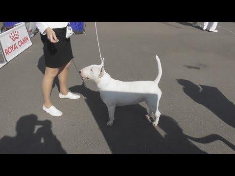 бультерьер, Интернациональная выставка собак в Великом Новгороде ранга CACIB