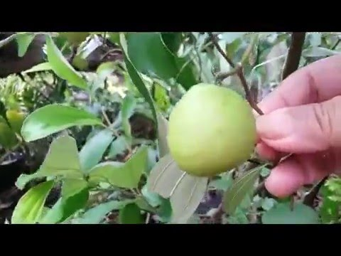 putsa indian jujube ziziphus mauritiana youtube