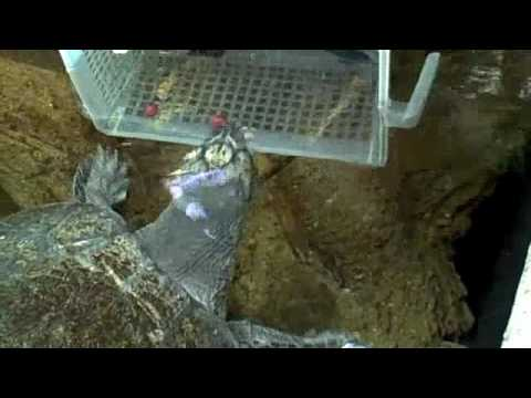 Behind the Scenes: Arrau River Turtle Feeding | California Academy of Sciences