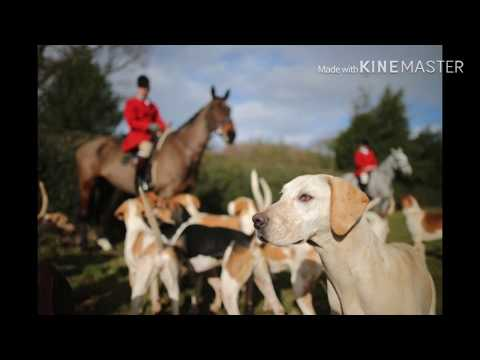 Fox Hunting In The Uk... The Real Truth.
