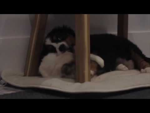 Bernese Mountain Dog & Ragdoll Cat playing