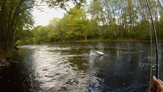 Fly fishing for big, fresh run salmon in the famous Mörrum river