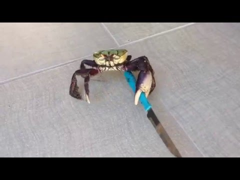 Knife Crab Is Afraid of No Man