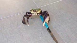 Gangster crab! || Viral Video UK