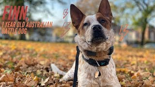 Best Australian Cattle Dog Trainers     1 Year Old Australian Cattle Dog, Finn