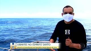 Jornal Hoje - Litoral do ES se transforma em berçário de baleias-jubarte.