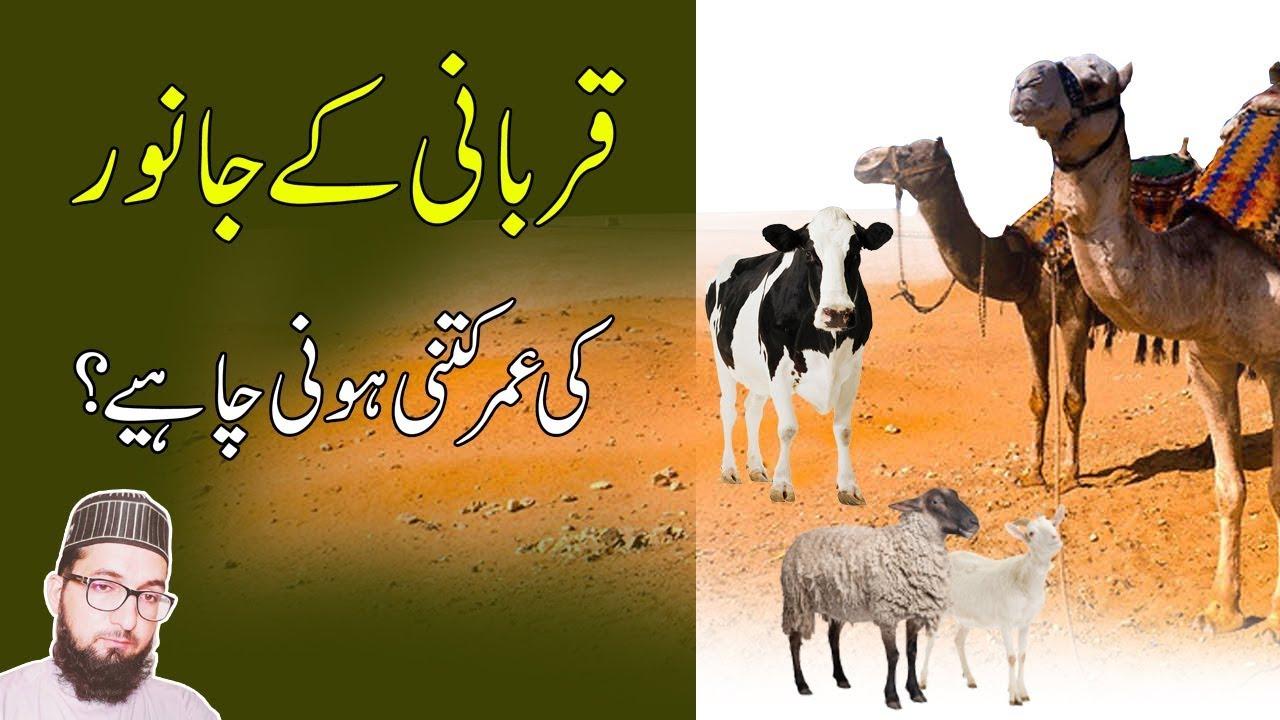 Qurbani Ka Janwar Eid ul Adha Special Qu...