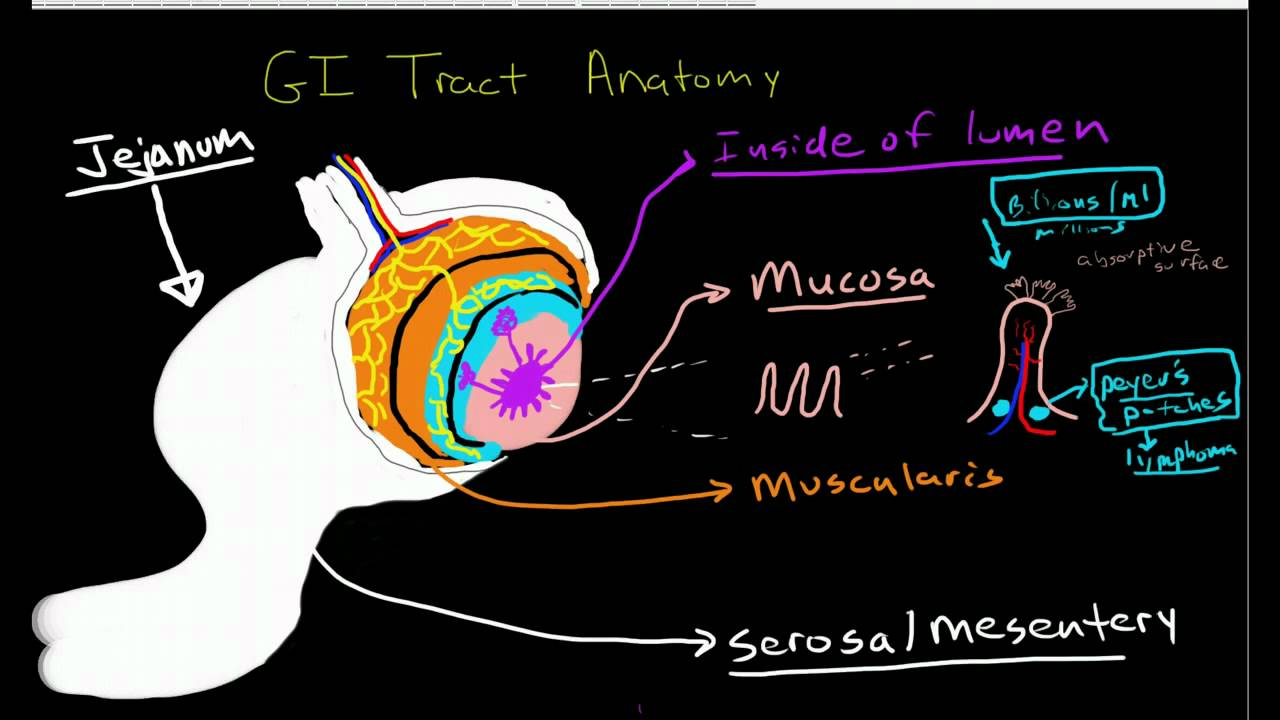 Anatomy Of The Gastrointestinal Tract Youtube