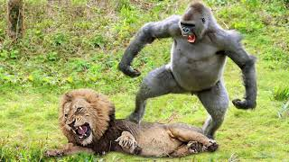 Lions Hunt Baby Gorilla, Herd Gorilla Panic Carry Baby On His Back Run Away, Baboon vs Wild Dogs
