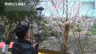 The cherry blossoms in Fangzhu Temple of Mount Lushan in E China's Jiangxi begin to bloom