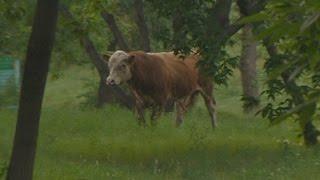 Напавшего на людей быка до сих пор не нашли