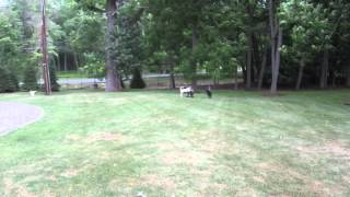 Labradoodle , Poodle. Anatolian Puppies Running