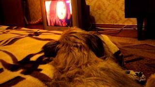Собаки тоже смотрят телевизор