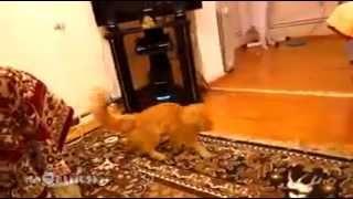 Реакция кота на звук прыжка в Марио