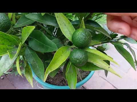 Клементин испанский мандарин