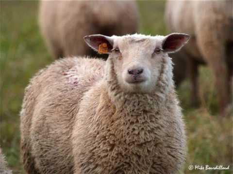 EL GAOULI -Petit mouton [Prod:El gaouli]