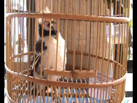 Chim Cuong noi chuyen (ồn ào quá, ồn ào quá)