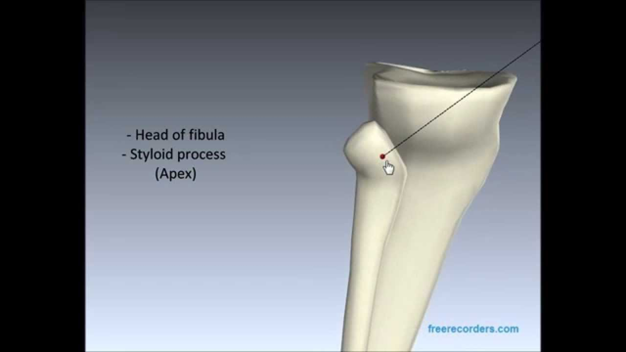 Anatomy of the Tibia and Fibula - YouTube