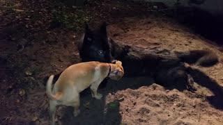 Luna the wolfdog vs neighbors