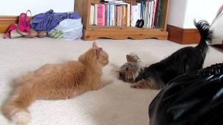 Yorkie Vs Cat! Fight!!