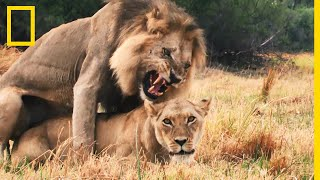 Séquence séduction entre lions