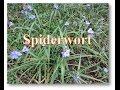 Unusual Food # 31 - Spiderwort the ediable weed