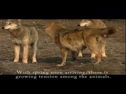 Wolfwatching / Farkaslesen (2005)